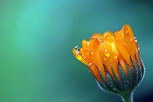 fiore che deve schiudersi